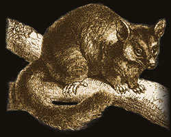 possum-brown